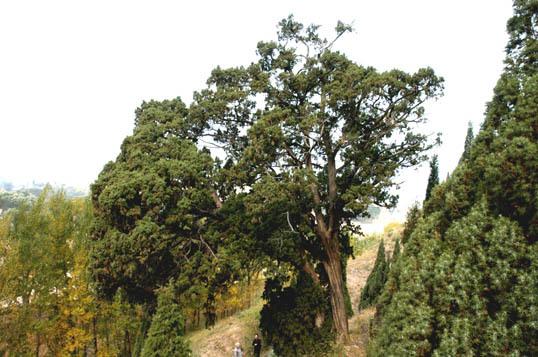 编辑本段形态特征   常绿小乔木,高达12米;树皮褐色,纵裂,呈长条