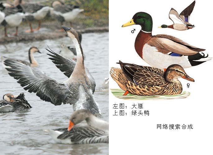 秋沙鸭亚科的成员主要吃动物性食物,有些种类如各种秋沙鸭主要吃鱼类