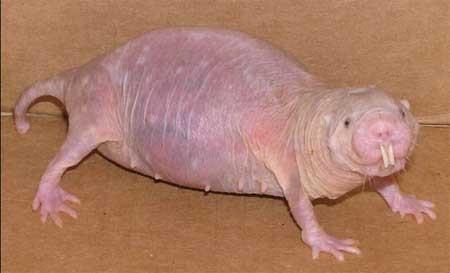 裸小鼠是由于染色体上等位基因(第11对染色体上)突变