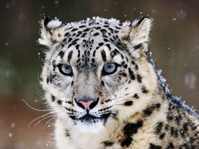 直到现在很多分类学家仍把雪豹和其他几个大型猫科动物归入豹类,但