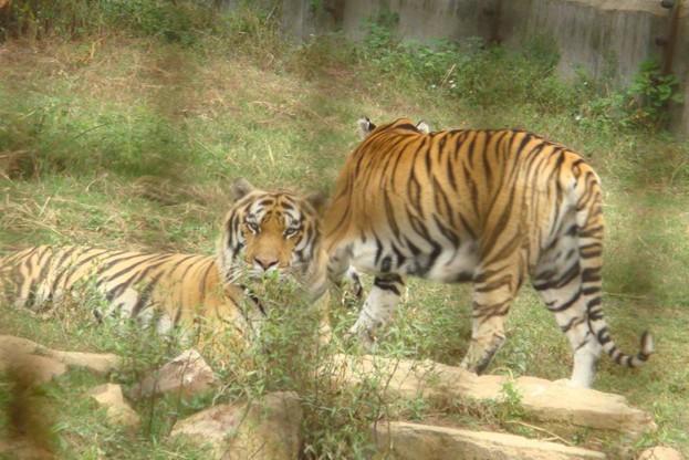园内动物种类达88种1527头(只)其中老虎100头黑熊50头非洲狮50头.