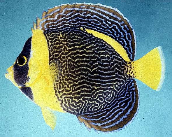 壁纸 动物 鱼 鱼类 590_470