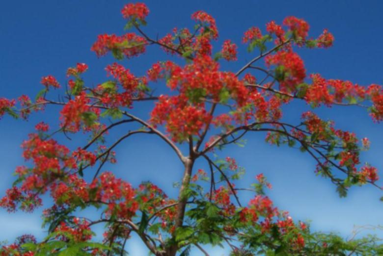 凤凰木为热带树种,种植6~8年开始开花