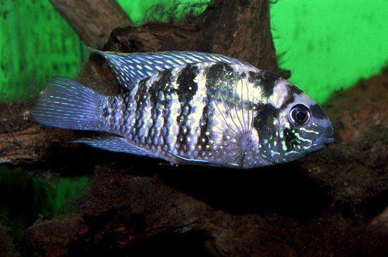 鱼怎么分雌雄图片