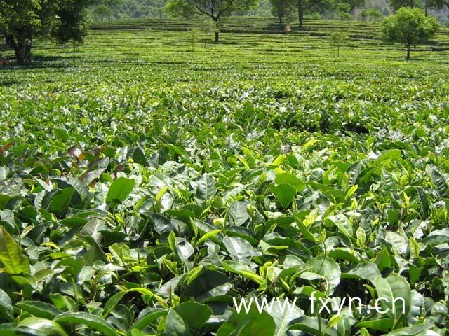 食叶害虫,钻蛀害虫和地下害虫,病害主要有茶饼病,茶炭疽病等.