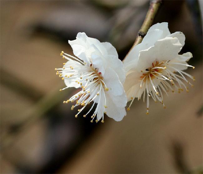 梅花朵矢量图