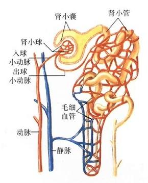 编辑本段组成结构   肾小球将血液过滤到肾小囊中