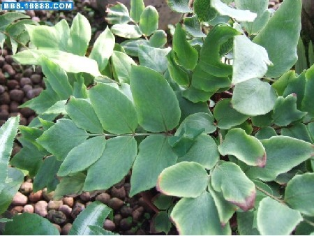 大叶贯众    药材基源:为鳞毛蕨科植物刺齿