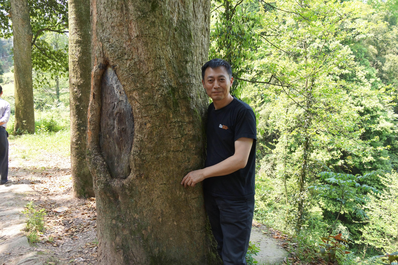 金丝楠树生产的木材——金丝楠木是重要的