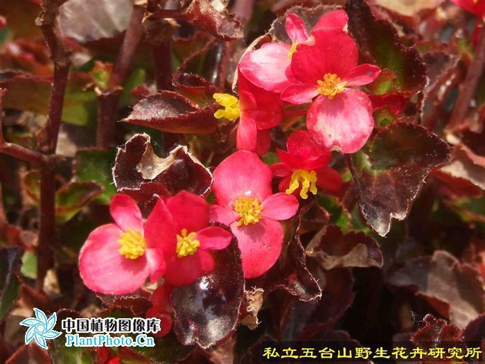 红叶秋海棠_360百科