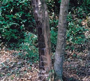 古时,东莞种植香树的人,等莞香树长大后,就把它连根挖出,洗晒成块状后