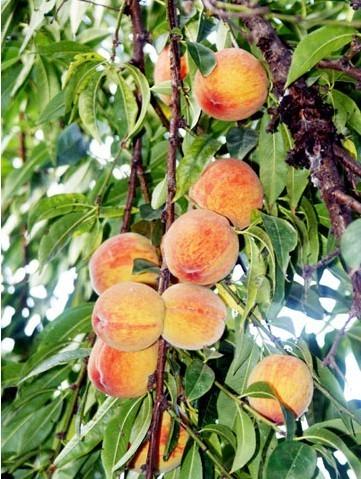 水果桃子可爱萌图片大全