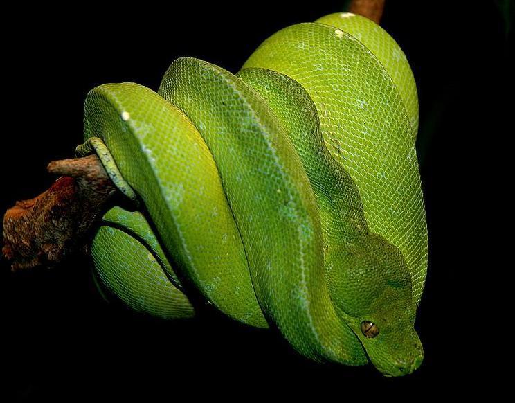 繁殖方面,绿树蟒是卵生动物,每次大概能生产12至25枚蛇卵.
