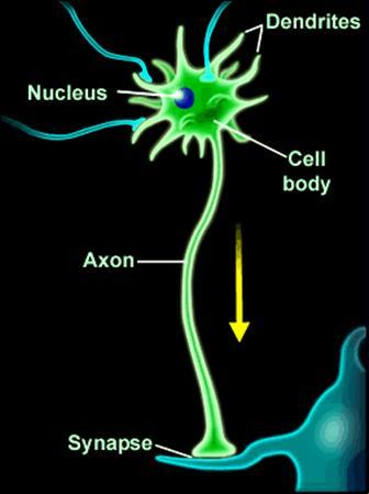 无髓神经纤维 超微结构图片