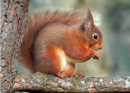 松鼠 欧洲红松鼠 三彩松鼠-紫色松鼠 魔王松鼠 松鼠