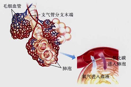 肺泡红蓝手绘图
