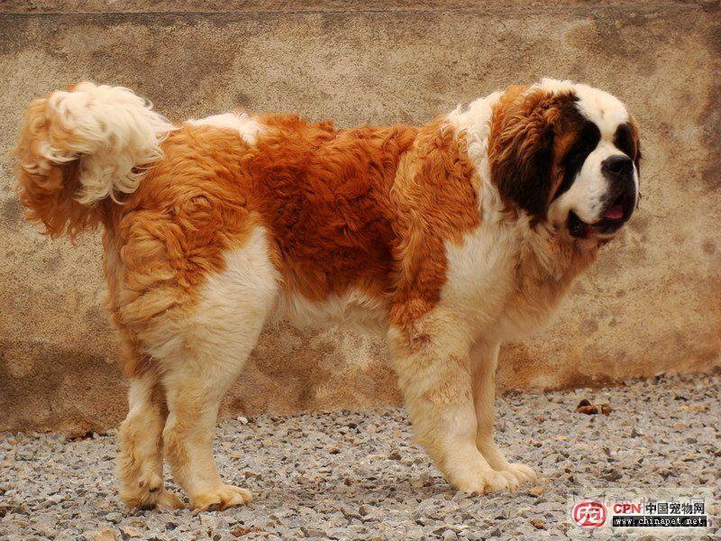 ... 名字 加 图片 品种 是 大型 犬 吗 大型 犬 品种 大全