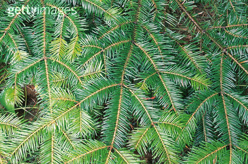 松树叶横切结构示意图