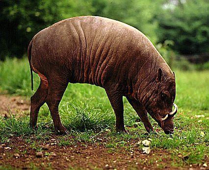 壁纸 大象 动物 猪 426_347