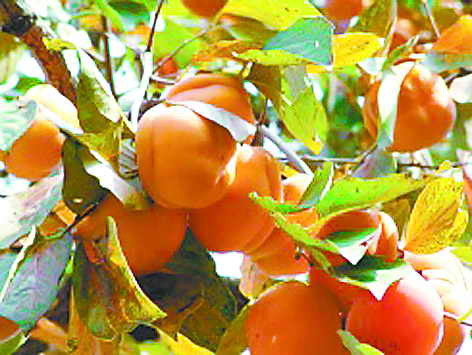 编辑本段病虫害防治   柿树病害很多,其中以角斑病,圆斑病和炭疽病