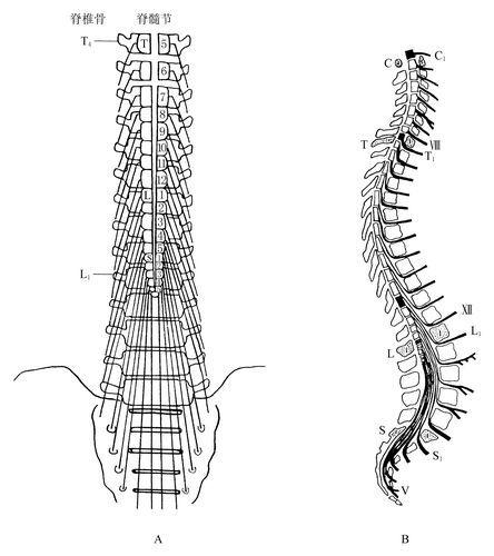 此解剖学特征决定了圆锥周围损伤为马尾及脊髓圆锥