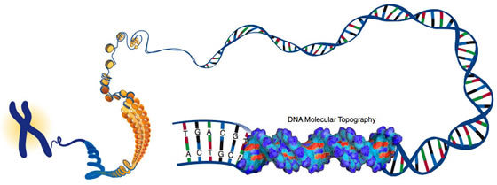 细胞内的dna长成有组织的结构